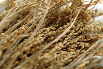 [Phần 1] Gạo Thái đang dần đánh mất vị thế trên thị trường quốc tế